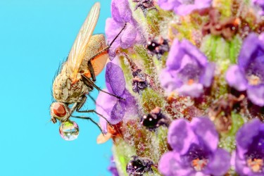Fly on Lavender